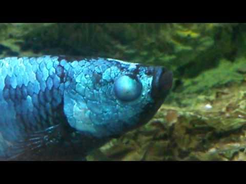 Diamond Eye Betta Fish, Cure?
