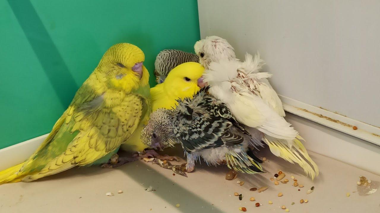 Muhabbet Kuşu Yavruları Kaç Günlükken Yeme Düşer ??