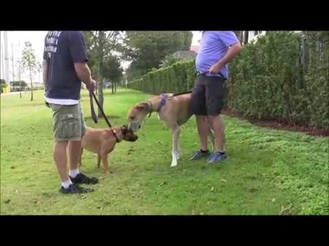 How To Handle Dog To Dog Aggression!