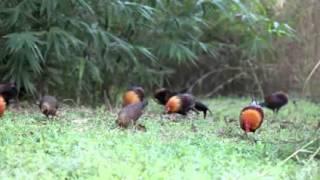 Ayam Hutan Merah Sumatera di alam bebas (Sumatera Red Jungle Fowl)