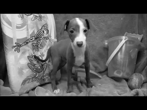 Female Italian Greyhound Puppy