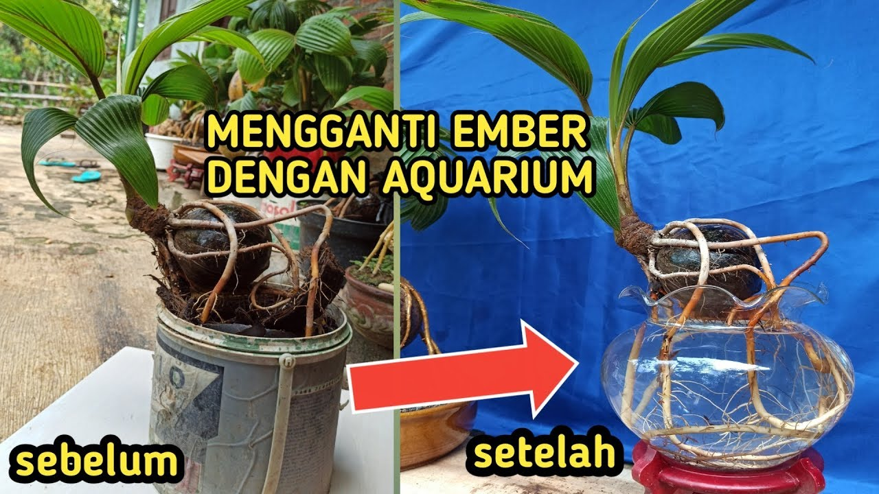 Bonsai Kelapa Media Air Di Atas Aquarium Youtube