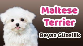 Maltese Terrier Karakteri, Eğitilebilirlik Durumu, Yaşam Koşulları, Çocuklarla İletişimi, Bakımı