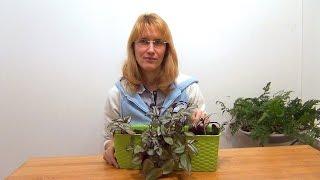 Комнатное растение зебрина: полезные свойства, уход и размножение в домашних условиях