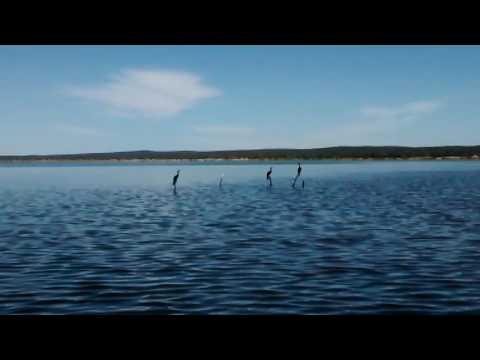 Aves - voo rasante dos mergulhões na Lagoa de Itaparica.