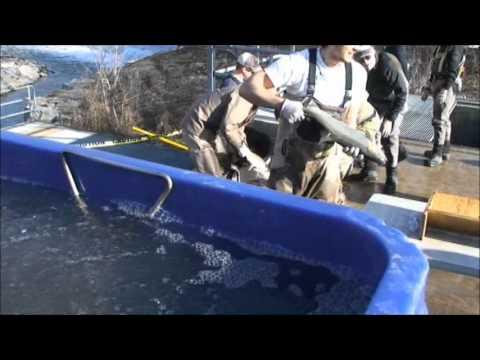 CRAA Wild Steelhead Transfer And Fish Ladder Video