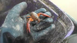 Crawfish Farming in South Louisiana~The Basics