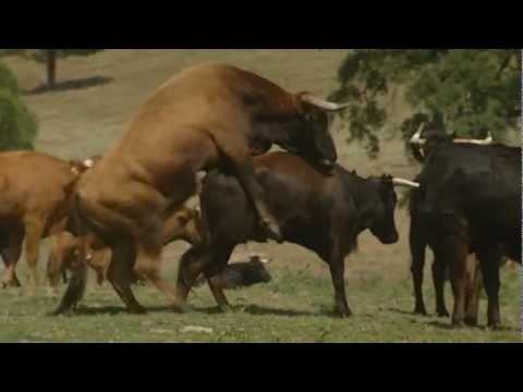 El sexo de los toros / The sex of the bulls