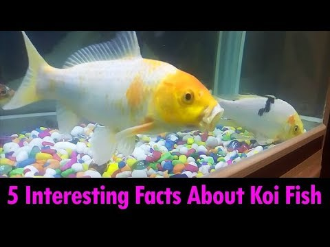 Koi carp fish facts interesting facts about koi fish for Koi fish care