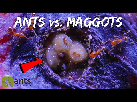 Fire Ants Take on a Swarm of Maggots | WARNING: Extremely Gross Footage (Halloween Special Pt. 1)