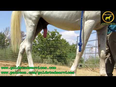 Stallion semen ground collection with no stallion handler thumbnail