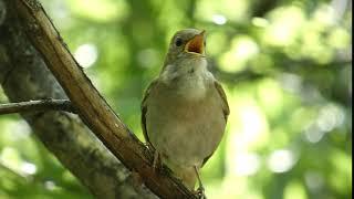Download 2. Privighetoare roscata, common nightingale (Luscinia megarhynchos)