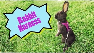 Can rabbits wear a harness?
