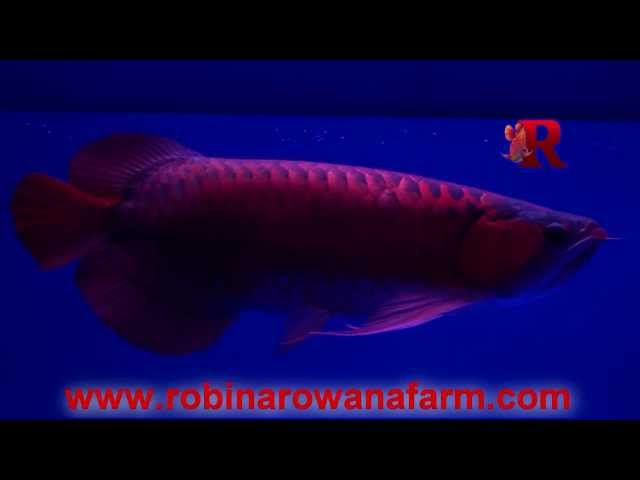 INDONESIAN RED AROWANA - Yi Tiao Long 48cm (5) By ROBIN AROWANA FARM [HD]