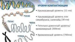 Хроматин уровни компактизации