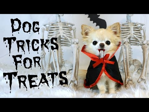 Cute Puppy Size Chihuahua Dog Tricks For Treats