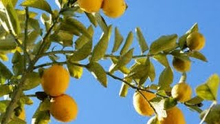 95 - How to grow lemon 🍋 tree from cutting (Hindi /Urdu) 24/7/16