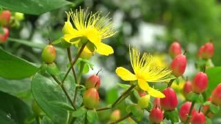 ヒペリカムはオトギリソウカ(弟切草科)の花で黄色の花と赤く色付く実...