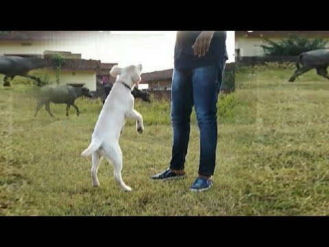 3 month old Labrador Retriever Training Video/ Intelligent dog breed/ Aryan Dog Club  Aryandogclub