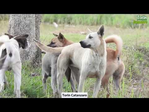 Village Pet Animal Care - Rural Pet Dog Seeing Together in Rice Harvest Season