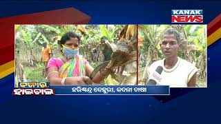 Banana Farming Turned To Be Livelihood Factor For These Farmers In Kandhamal
