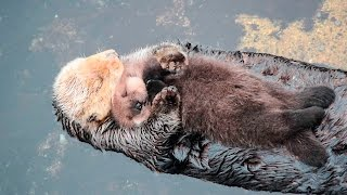 1 Day Old Sea Otter Trying to Sleep on Mom