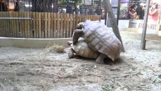 เต่าผสมพันธุ์