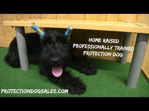 """Giant Schnauzer Puppy """"Yale"""" 4 Mo's Obedience Trained Home Raised Personal Protection Candidate"""