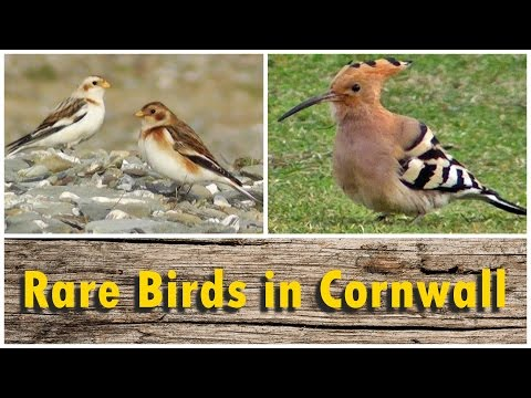 Hoopoe, Green Heron, Wryneck, Woodchat Shrike and More : Rare Birds in Cornwall UK