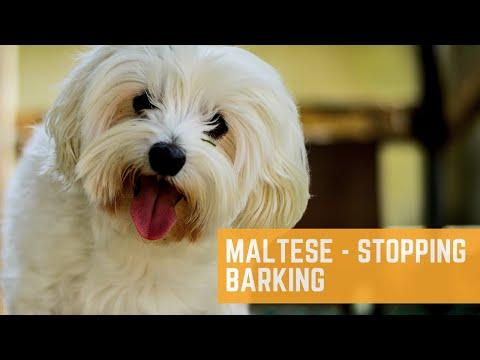 Maltese - Barks Excessively