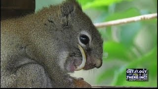 Alberta women grabs squirrel and cuts his many overgrown teeth.