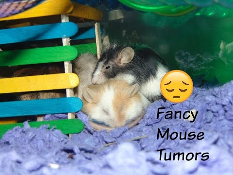 Fancy Mouse Tumors | Mouse Care