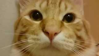 茶トラ猫 CJ君のフレーメン反応 Flehmen Cat CJ