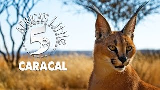 The Desert Lynx : Caracal | AFRICA'S LITTLE 5