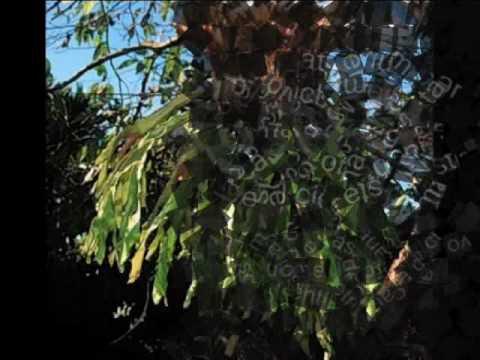 Pucacaca y el Platycerium andinum