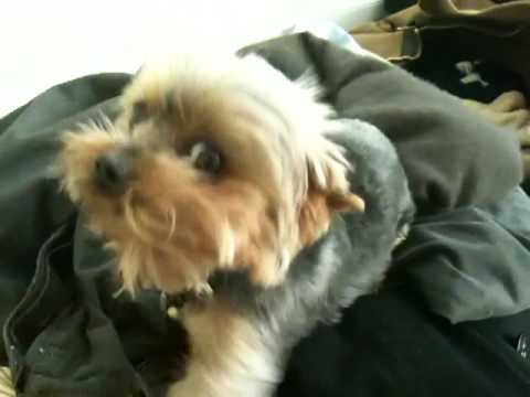 Cute Teacup Yorkie Sneeze (Yorkshire Terrier)