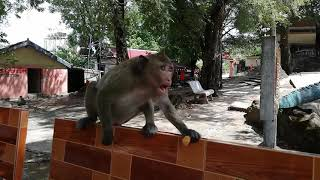 #subscribe Small monkey is angry with small monks that play with it hahaha so joking