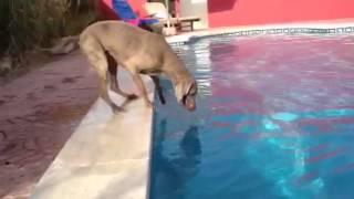 Dog Maya Weimaraner Hund, kann die Frisbee auch ohne ins Wasser zuspringen, aus dem Pool holen thumbnail