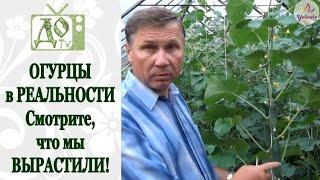 Смотреть видео Партенокарпические огурцы для теплиц выращивание из семян уход