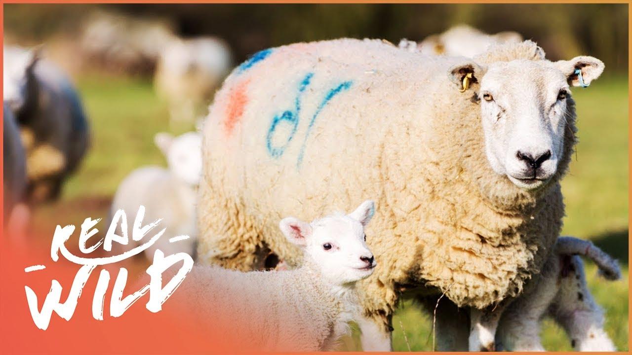 Adorable Baby Doll Sheep! | Real Wild Shorts