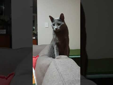 Russian Blue Cat Maui Meowy who likes to talk