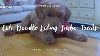 Cute Doodle Eating Furbo Treats | Furbo Dog Camera