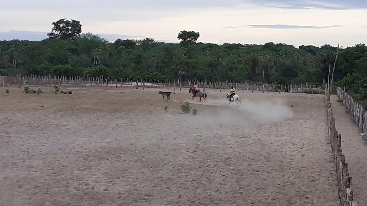 Pegador de gado