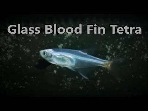 Glass Bloodfin Tetra Care & Tank Set Up Guide