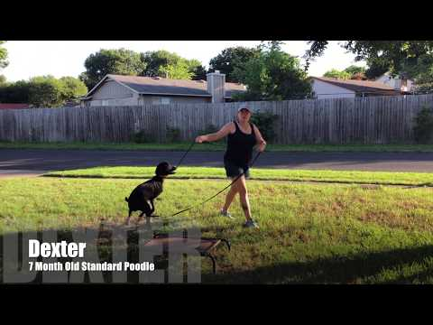 Standard Poodle 'Dexter' | Amazing Transformation | San Antonio Dog Trainers