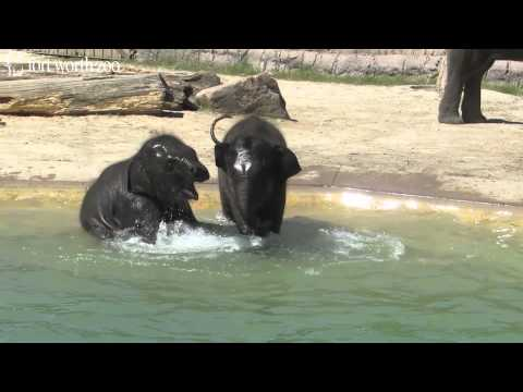 Fort Worth Zoo's Baby Elephants Go for a Swim