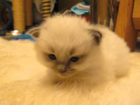 "laughingsquid: ""Drowsy Kitten Disappears Into the Carpet Whenever She Tucks Her Head and Falls Asleep """