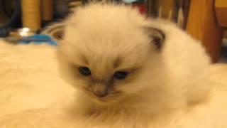 「もう…だめ…にゃ」 睡魔に必死で耐え続けた子猫、結局寝ちゃう