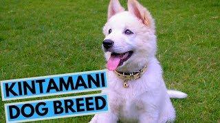 Kintamani Dog Breed  Facts and Information