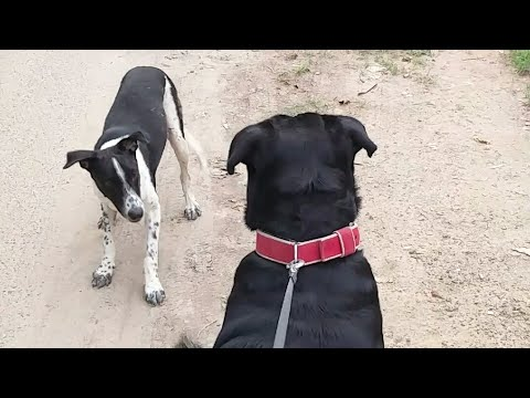 Curious ROTTWEILER vs Dancing STRAY DOG